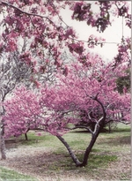 Redbud Note Cards