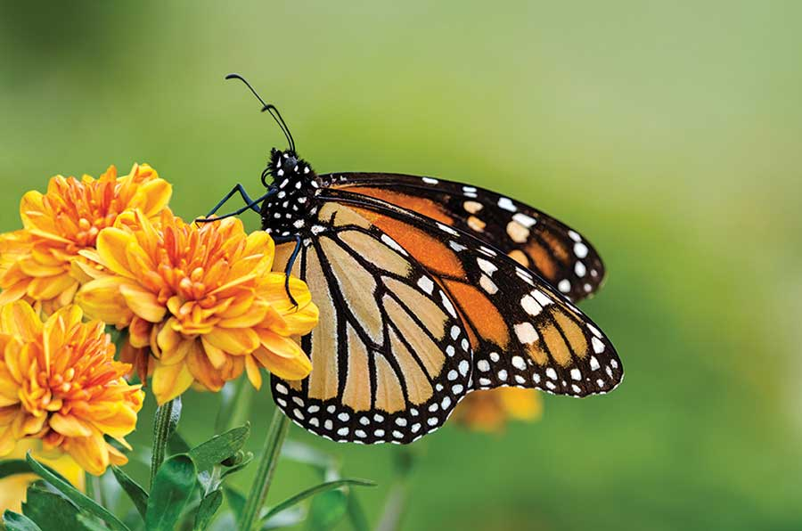 a close-up of a Monarch butterfly resting on a flower