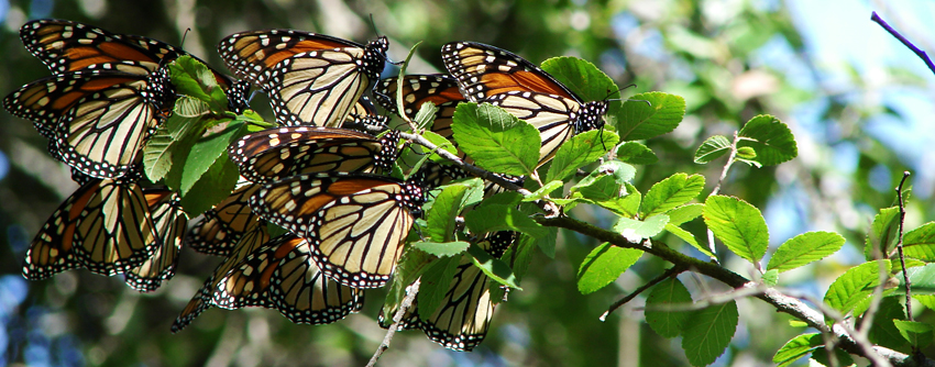 Butterflies on a branch