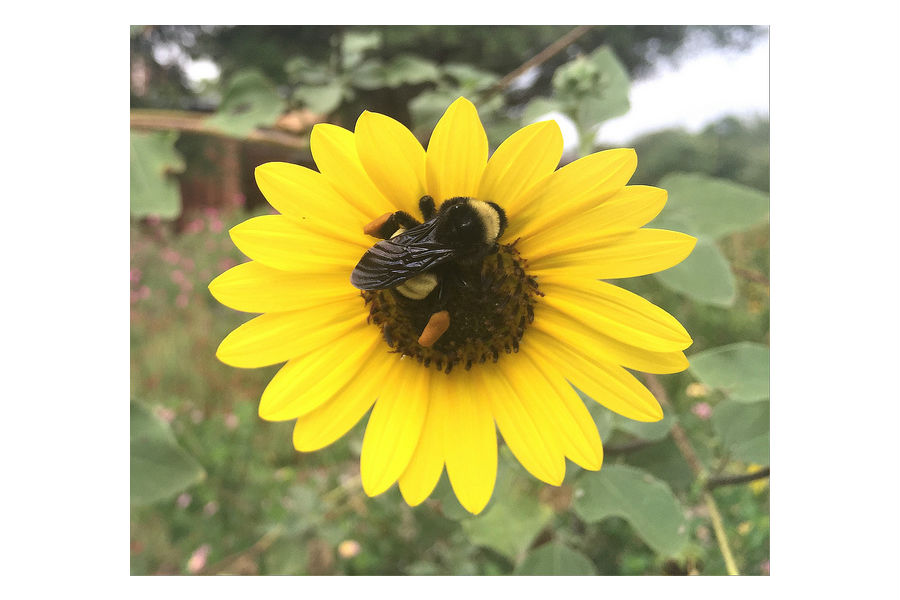 Bumblebee Sunflower