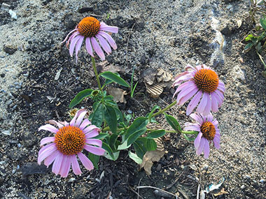 Cone flower, a favorite butterfly flower