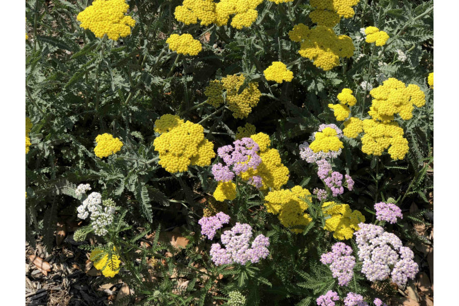 Texas Yarrow