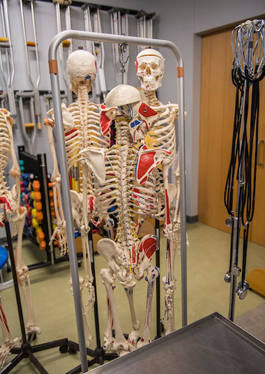 3 hanging anatomy skeleton models
